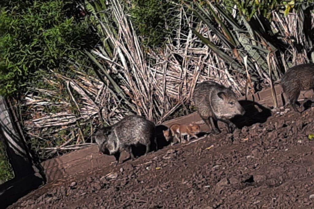 """Bioparque Municipal """"La Máxima"""": Nacieron tres pecarí de collar"""